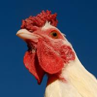 chicken-current-recession